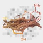 Cordyceps - ingredients of male extra